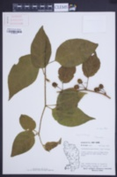 Image of Lycianthes pauciflora