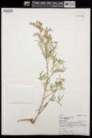Lupinus argenteus var. argenteus image