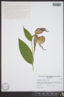 Cypripedium kentuckiense image