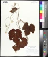 Image of Vitis californica