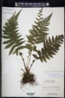 Image of Amauropelta mombachensis