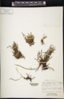 Image of Grammitis setulosa