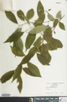 Image of Prunus subhirtella