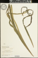 Vallisneria americana image