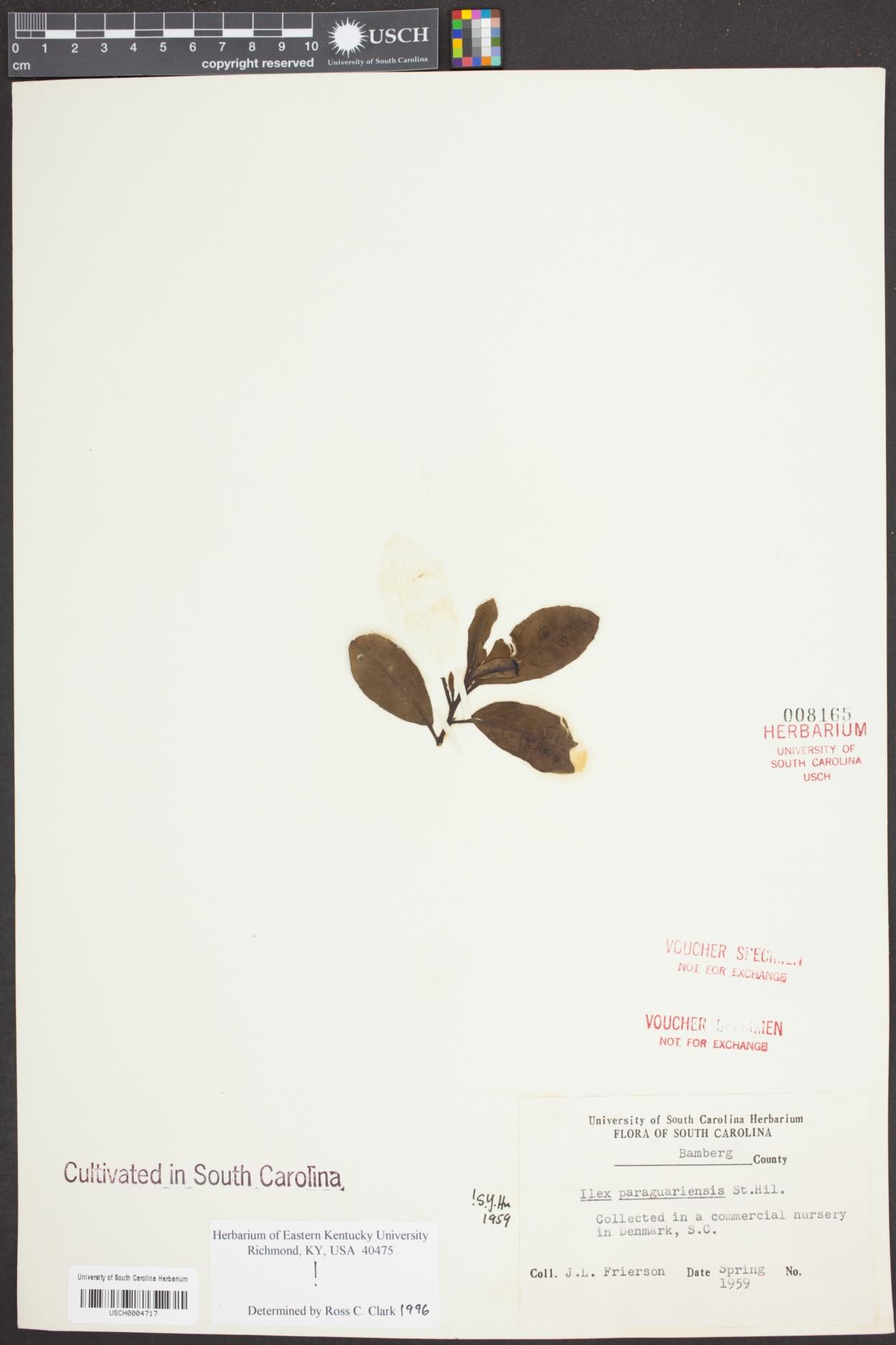 Ilex paraguariensis image