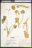 Image of Sagittaria guayanensis
