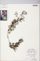 Galium asprellum image