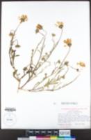 Dimorphotheca sinuata image
