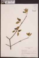 Calycanthus floridus image