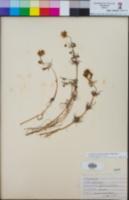 Lasthenia coronaria image