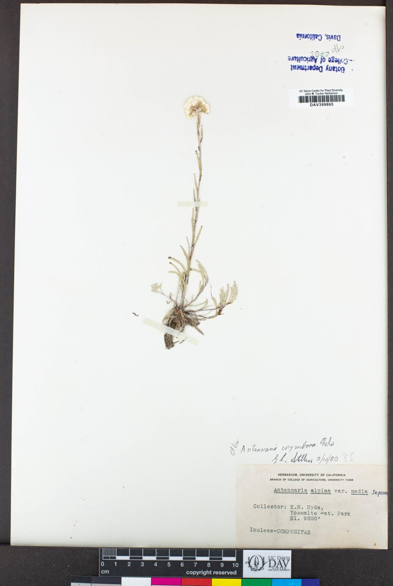 Antennaria corymbosa image