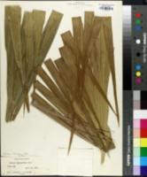 Image of Thrinax floridana