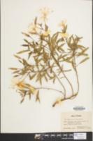 Image of Oenothera argillicola