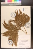 Gleichenia flabellata image