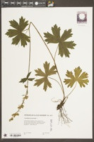 Aconitum lycoctonum image