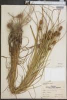 Carex typhina image
