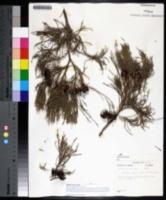 Callitris preissii image