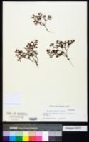 Chorizanthe procumbens image