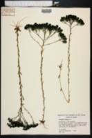 Polygala ramosa image