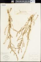 Suaeda fruticosa image