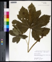 Hydrastis canadensis image