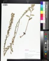 Image of Symphyotrichum concolor