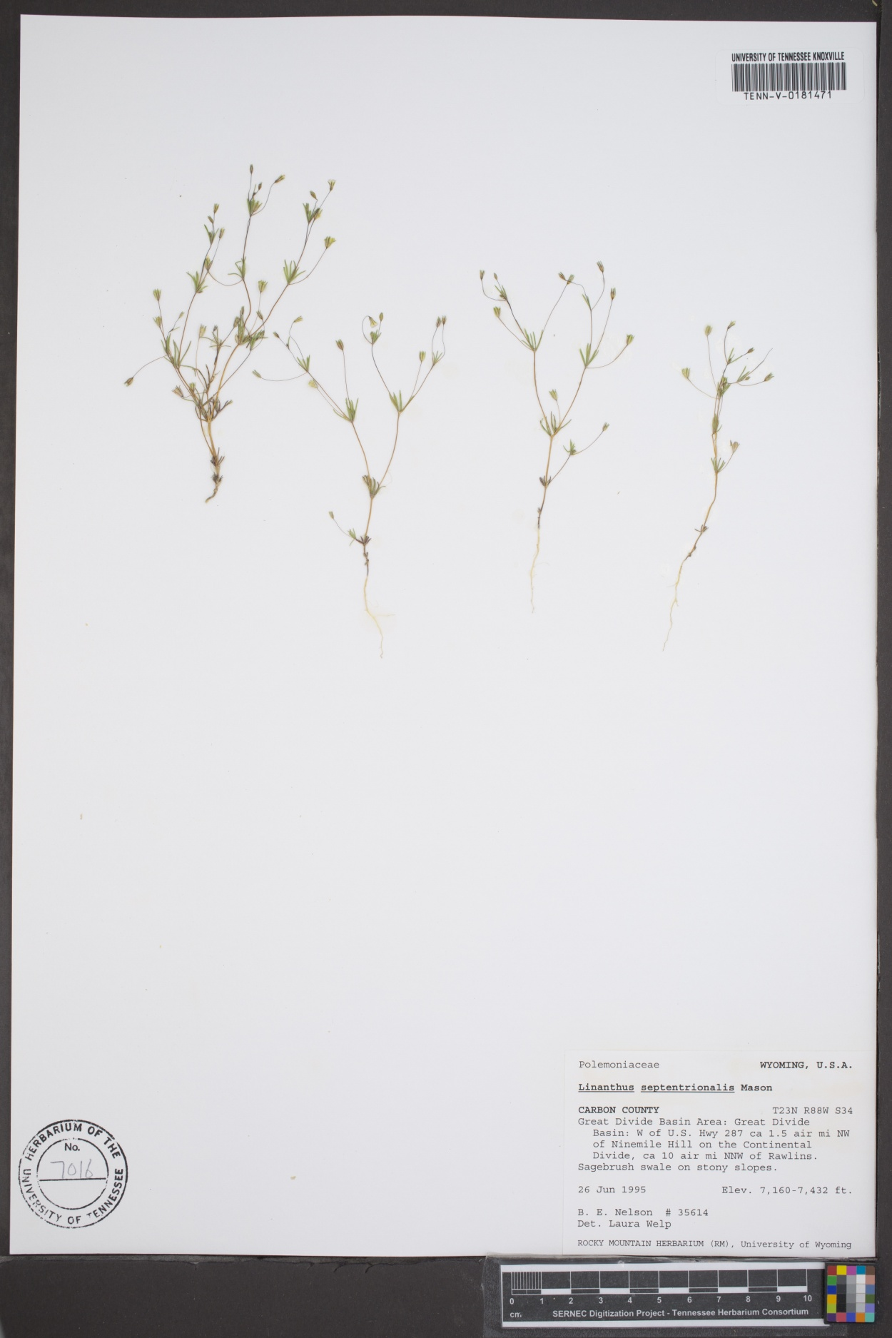 Linanthus septentrionalis image