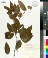 Image of Guamia mariannae
