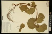 Vitis rupestris image