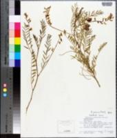 Astragalus gruinus image