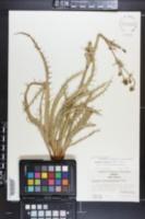 Eryngium purpusii image