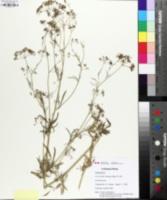 Petroselinum crispum image