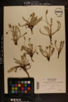 Image of Taraxacum farinosum