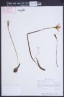 Habranthus tubispathus image