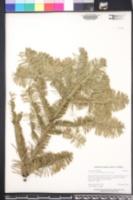 Abies procera image