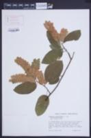 Image of Flemingia strobilifera