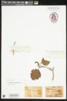 Crataegus margarettiae image