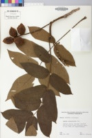 Juglans ailantifolia image