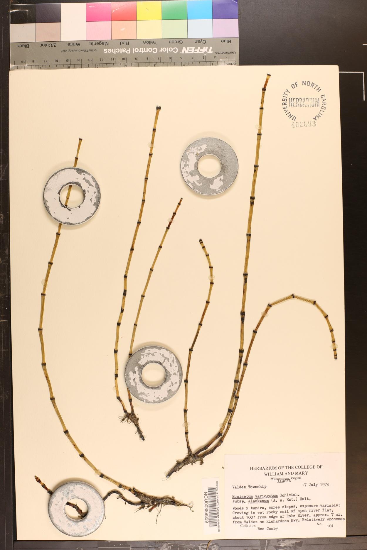 Equisetum variegatum var. alaskanum image