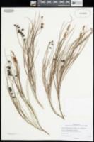 Image of Grevillea obliquistigma