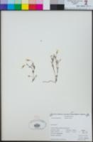 Linanthus dianthiflorus image