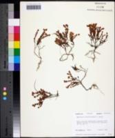 Image of Hypericum suffruticosum
