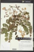 Robinia nana image