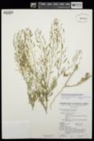 Descurainia pinnata subsp. intermedia image