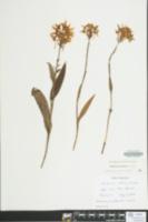 Platanthera ciliaris image