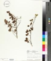 Symphoricarpos palmeri image