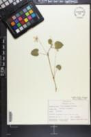 Image of Viola x brauniae