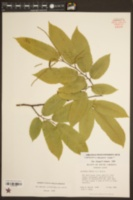 Image of Castanea neglecta
