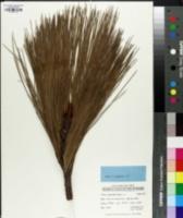 Image of Pinus pseudostrobus
