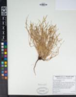 Eschscholzia minutiflora image